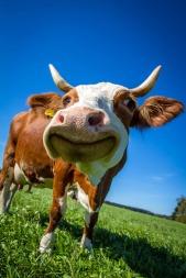 cow-2896329_1920