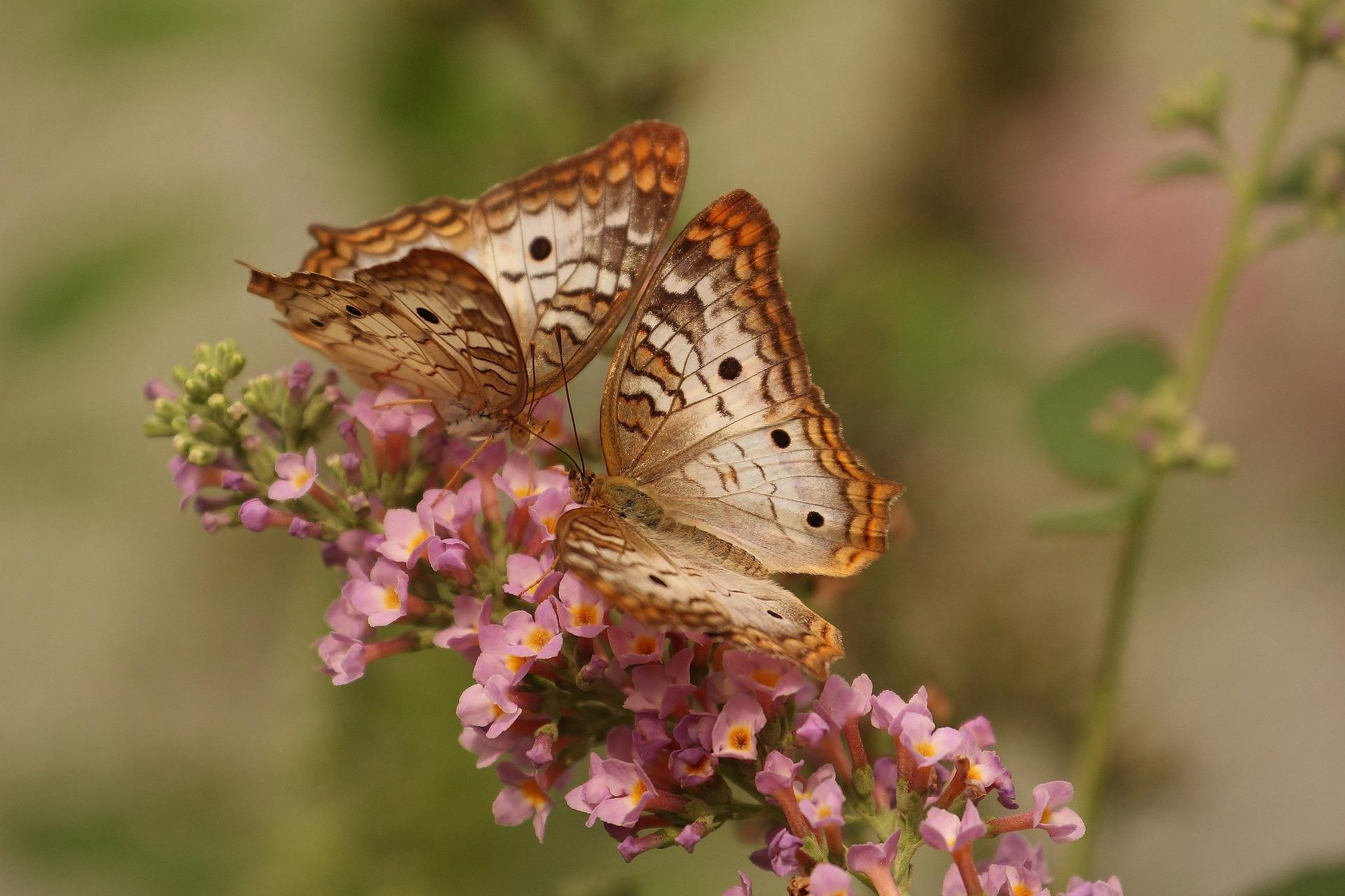 butterfly-743549_1920