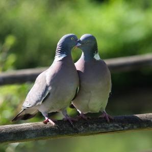 pigeon-2332702_1920