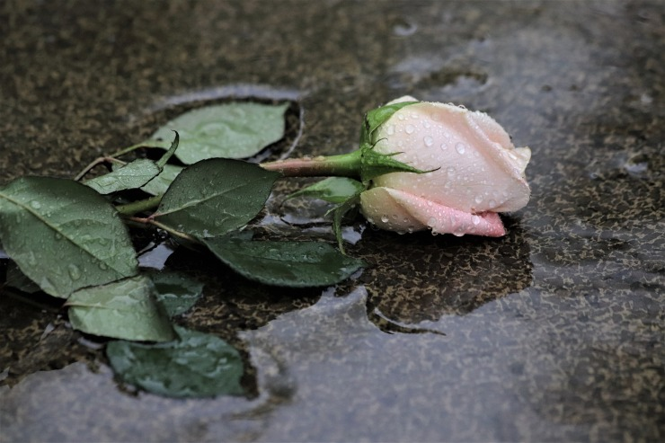 pink-rose-in-rain-4205779_1920